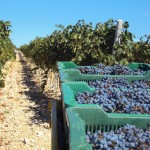 60937582-masline-vino-polace-zelena-ideja-ekologija