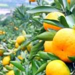 mandarine-696x407