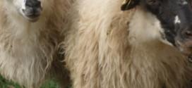 Privatno skladištenje obranog mlijeka u prahu, maslaca, određenih sireva, svježeg ili rashlađenog mesa goveda i ovčjeg i kozjeg mesa – zaprimanje zahtjeva za potporu u tijeku
