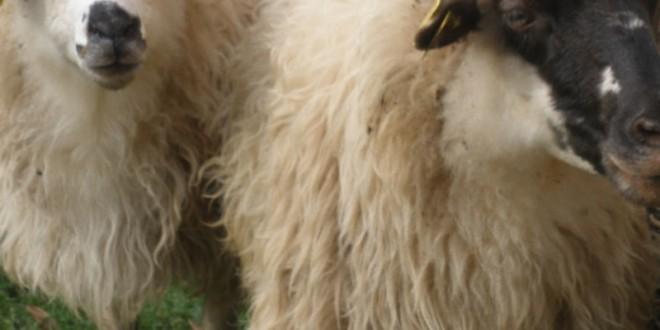 Prijave za potpore iz Programa potpore za unaprjeđenje proizvodnog potencijala u sektoru mesnog govedarstva u sustavu krava – tele, unaprjeđenje uzgoja ovaca, koza te izvornih pasmina peradi za 2020. godinu do 10. lipnja 2020.