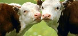 Isplaćeno više od 53 milijuna kuna potpore iz Programa potpore proizvođačima radi obnove narušenog proizvodnog potencijala u sektoru govedarstva