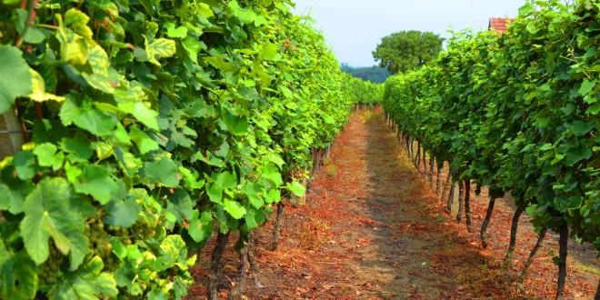 Najava Javnog natječaja za mjeru Ulaganja u vinarije i marketing vina